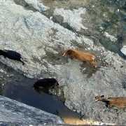 goats-in-gorge-south-of-tepexco-n5-mexico